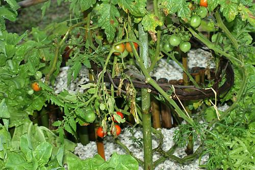 Cherry-Tomatoes-Lower-Part