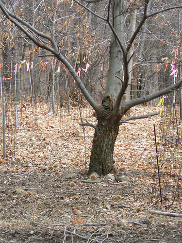 Bear Cliffs - Surprise Chestnut Trees