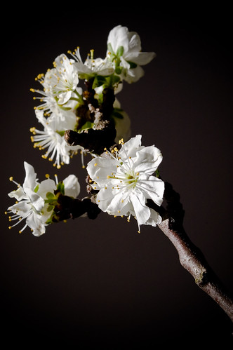 blossoms-1