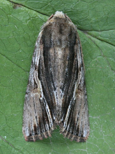 10520 - Morrisonia evicta - Bicolored Woodgrain