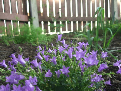 campanula, with nigella in the background