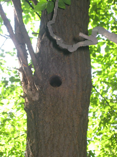 A Great Spotted Woodpecker Nest