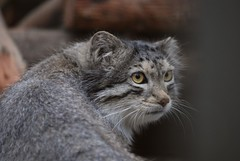 Manul im Zoo Tallinn