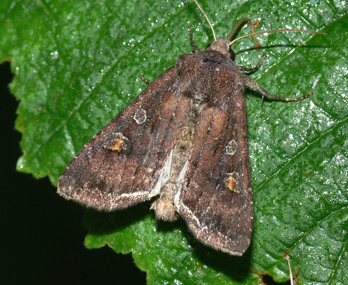 Bright-line Brown-eye (Lacanobia oleracea)