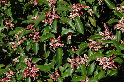 Blooming Laurel Sumac