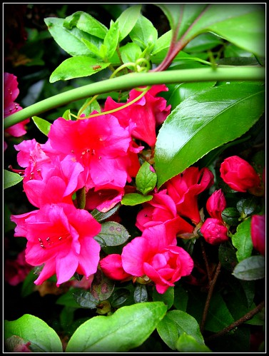 In our garden: Azalea