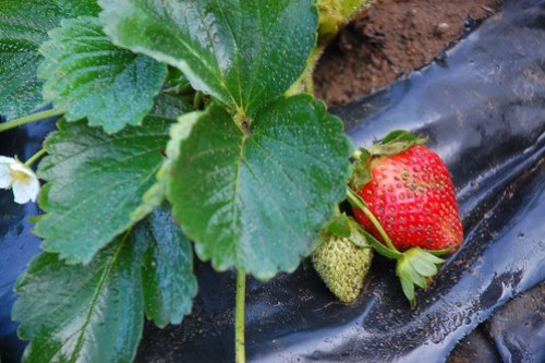 Strawberry Trinidad Benguet