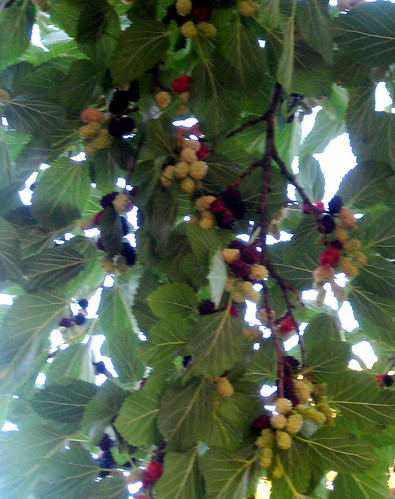 Mulberries In Various Stages of Ripeness
