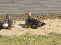 Baby Geese 2009