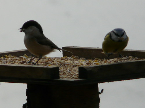 Willow Tit and Blue Tit