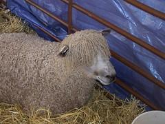 . . . lots and lots of sheep . . .