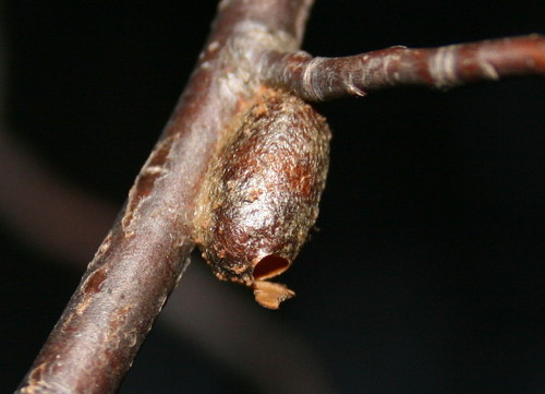 Sawfly cocoon