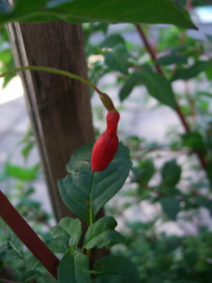 next doors fuschia is starting to flower