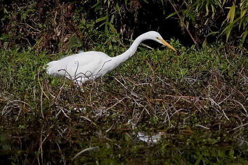 Great Egret by you.