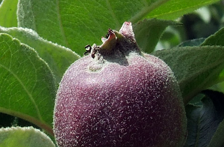 a pequena maçã