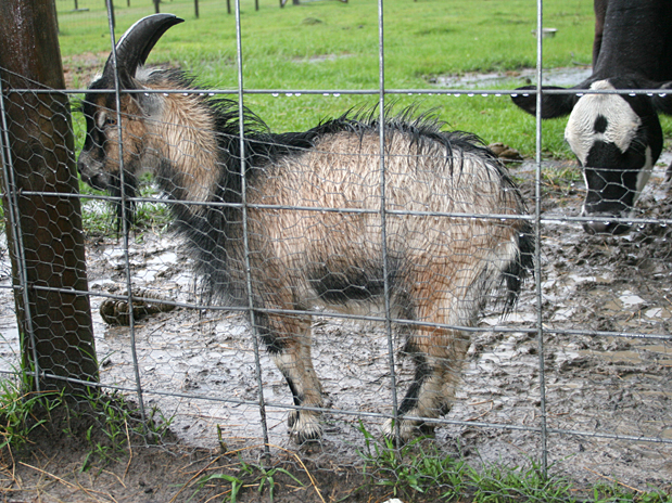 Mad-Goat