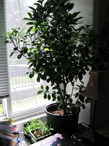 My calamondin tree