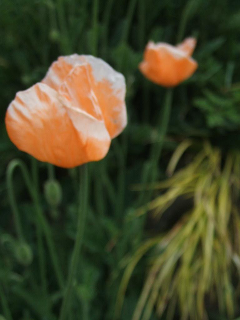 Delicate papery orange poppies
