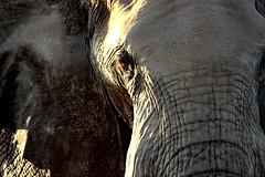 Elephant eye - Elefantenauge