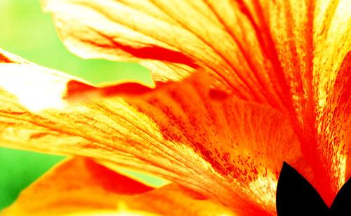 X-Pro Hibiscus. (Fuji Velvia 50 — Cross-Processed. Nikon F100. Epson V500.)