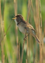 Reed Warbler Singing by rogersanderson, on Flickr