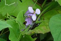 久田緑地のオオアラセイトウ(Flower, Kuden Ryokuchi, Kanagawa, Japan)