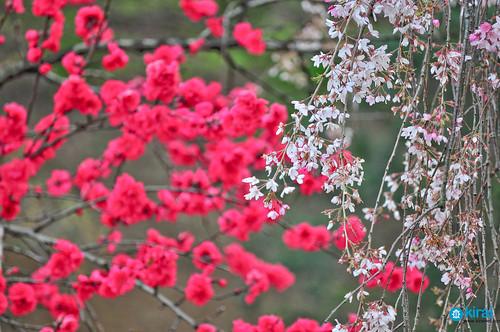 flor sakura hanami 2009 tokyo tokio japan japon