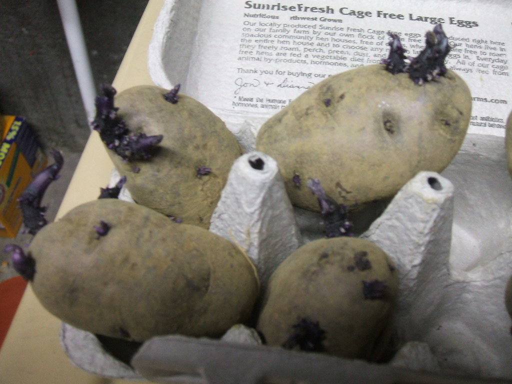 """Chitting"" blue potatoes"