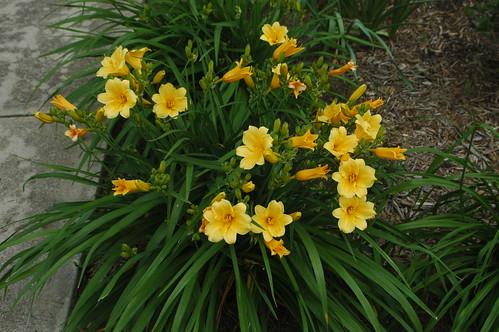 Stella d'oro Lillies in bloom