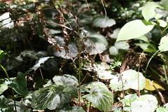 新治市民の森のユキノシタ(Niiharu Community Woods, Japan)