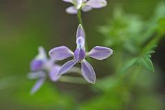 新治市民の森のセリバヒエンソウ(Flower, Niiharu Community Woods, Yokohama, Kanagawa, Japan, 2011)