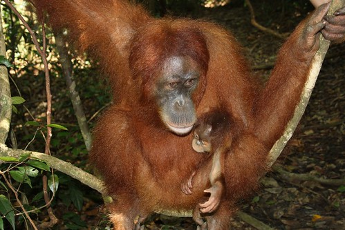 Orang-Utan-Weibchen im Gunung Leuser Nationalpark