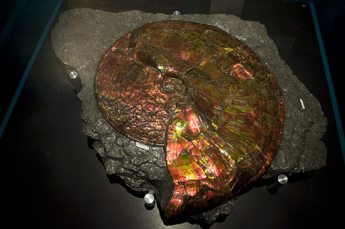 Pristine example of an iridescent Ammonite fossil in Royal Tyrrell