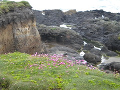 Armeria On Beach Cliffs