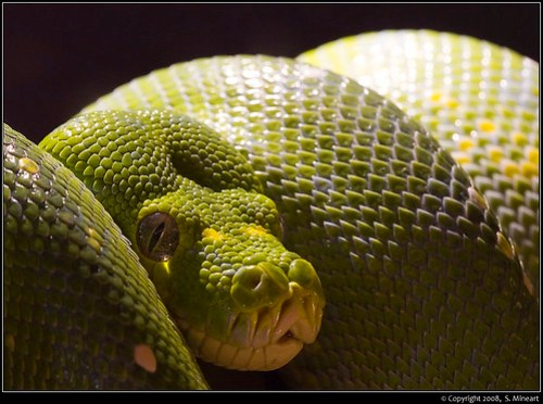 Green Tree Python - Indinapolis Zoo