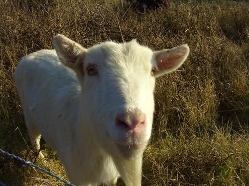 Goatee goat