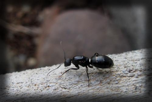 IMG_1303 Big Ant
