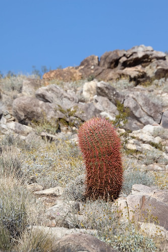 Desert Barrel Cactus by you.