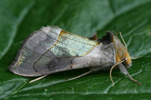 8897 - Diachrysia balluca - Hologram Moth (2)