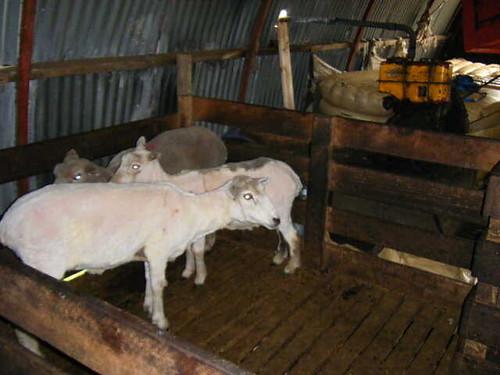 Falkland sheep shorn