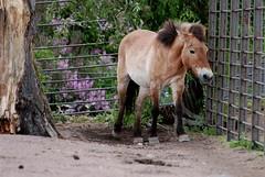 Przewalski-Pferd im Zoo Helsinki
