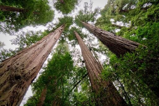 Redwoods Trio