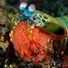 Peacok Mantis Shrimp with eggs