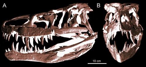 batrachotomus_skull