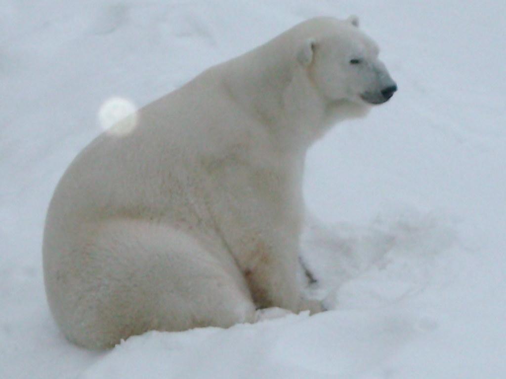 Oso Polar en la Reserva de Ranua