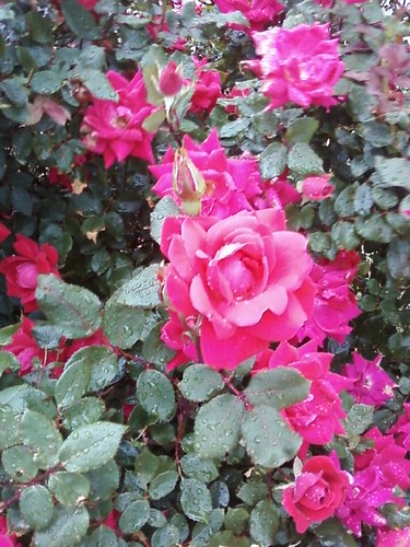 Rose bush near library 1