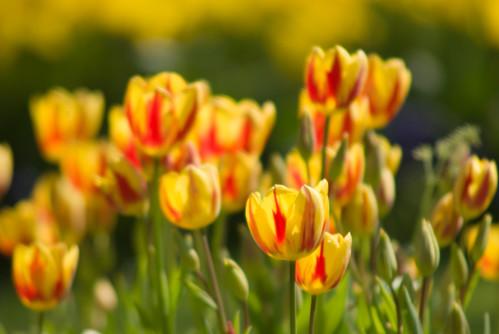 yellow-red tulips, istanbul tuli festival, istanbul, İstanbul lale festivali 2009,  pentax k10d