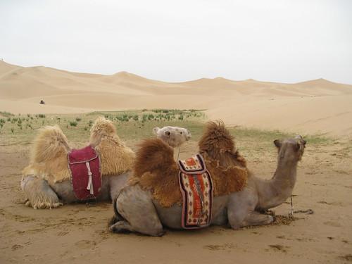 Camels on the Gobi