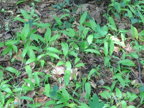 Bärlauch / Bear's garlic, Ramsons