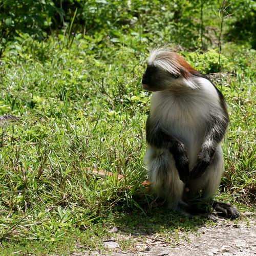 red colobus monkey © kloza